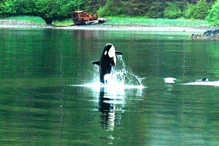 Orca Breaching - Alaska Wilderness Charters