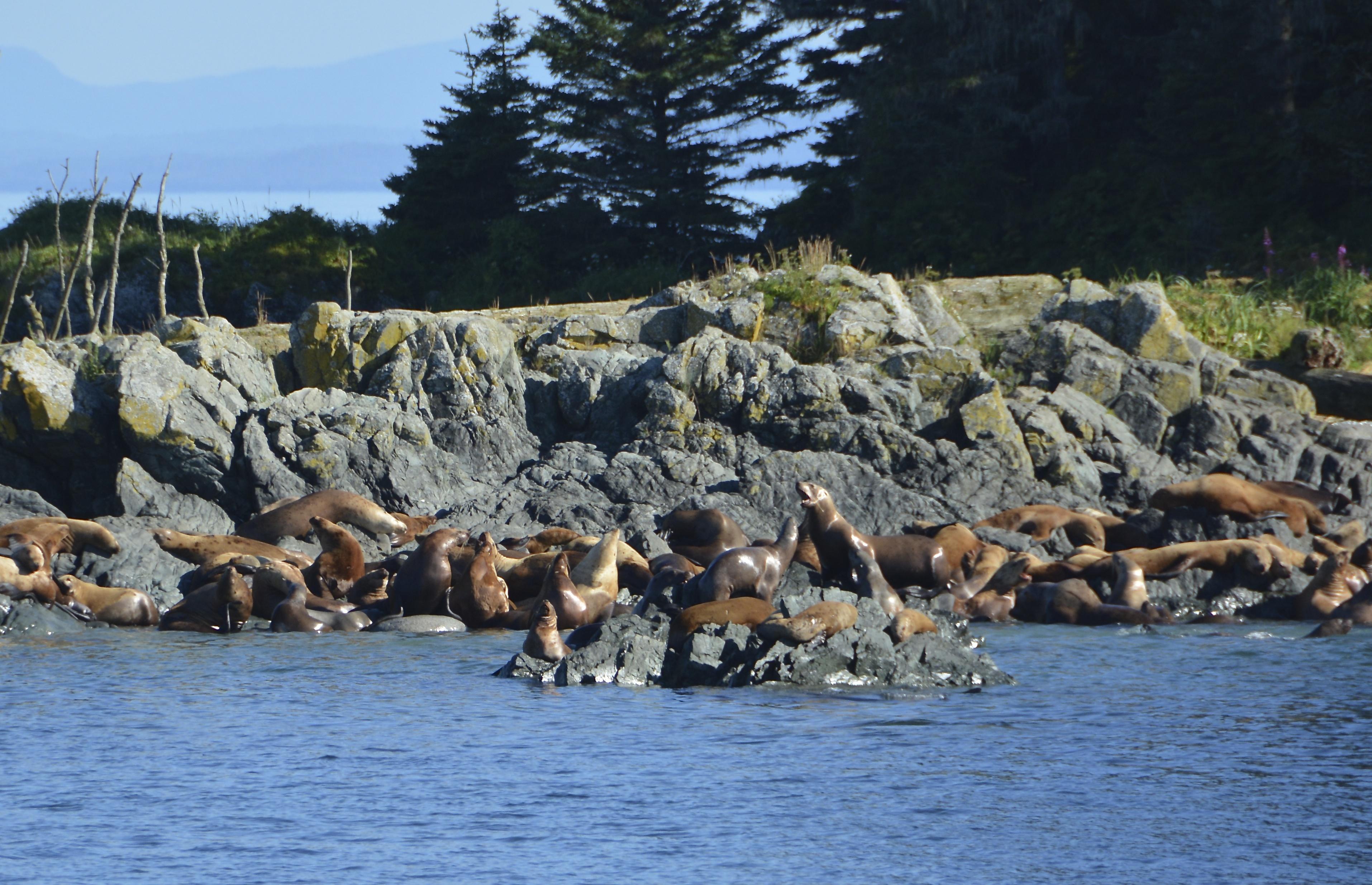 Stellar (Northern) Sea Lions at Play in southeast Alaska