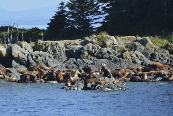 Sea Lions - Alaska Wilderness Charters