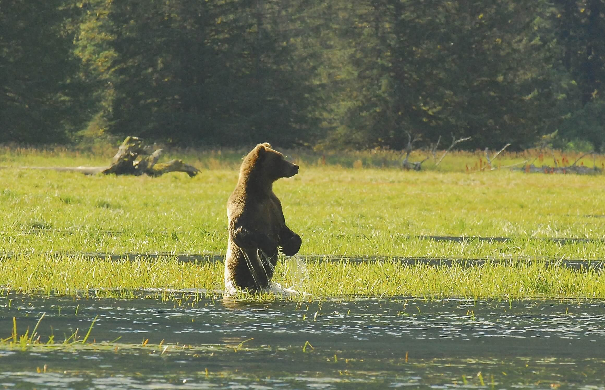 (Swimming) Grizzly Bears of the Inside Passage