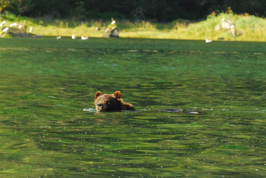 bear swim 4