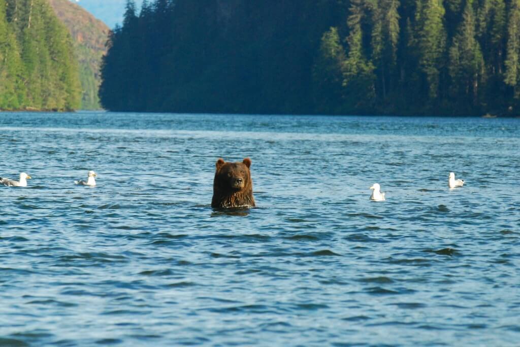 bear swim 6