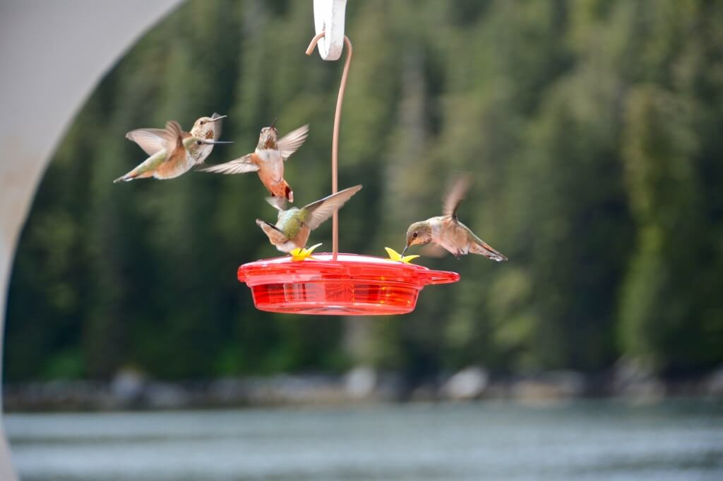 hummingbird1 (1)