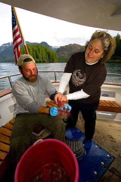 Captain Josh Haury and (owner of Ursa Major) Joyce Gauthier collecting (giant) Alaska Spot Prawns from our shrimp traps